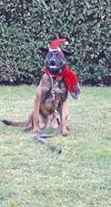 Police dog wearing Christmas hat and scarf